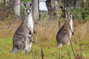 tasmania fauna