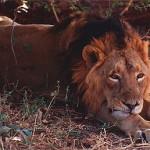 Gir Wildlife Sanctaury – housing the Asiatic Lions