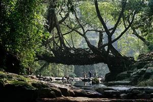 Root Bridges in Meghalaya