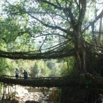 The Natural Root Bridges in Meghalaya