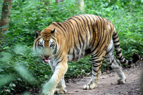 Tigers in Wayanad Wildlife Sanctuary